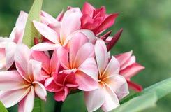 Ανθοδέσμη του ρόδινου λουλουδιού plumeria ή frangipani. Στοκ Εικόνες