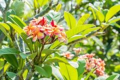 Ανθοδέσμη του ρόδινου plumeria frangipani στο δέντρο Στοκ Εικόνα