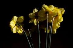 Ανθοδέσμη των κίτρινων daffodils από πίσω στοκ εικόνα