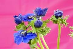 Ανθοδέσμη των μπλε windflowers στο ρόδινο υπόβαθρο Στοκ εικόνα με δικαίωμα ελεύθερης χρήσης