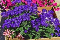 Ανθοδέσμη των λουλουδιών Heliotropium arborescens Στοκ Εικόνα
