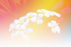 Ανθοδέσμη των λουλουδιών plumeria στον κήπο Εκλεκτής ποιότητας τόνος ύφους Στοκ Φωτογραφίες