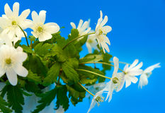 Ανθοδέσμη των λουλουδιών snowdrop Anemone Στοκ Φωτογραφία