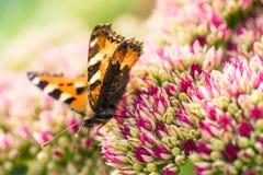Ανθοδέσμη των τουλιπών και της πεταλούδας Στοκ Εικόνες