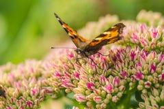 Ανθοδέσμη των τουλιπών και της πεταλούδας Στοκ Εικόνα
