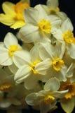 Ανθοδέσμη των daffodils στο μαύρο υπόβαθρο Στοκ εικόνες με δικαίωμα ελεύθερης χρήσης