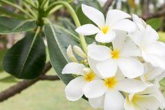 Ανθοδέσμη Plumeria, άσπρα λουλούδια plumeria Στοκ Εικόνα