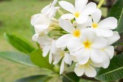 Ανθοδέσμη Plumeria, άσπρα λουλούδια plumeria Στοκ Φωτογραφίες