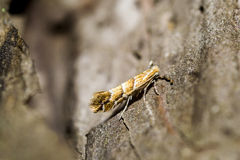 ανθρακωρύχος φύλλων αλόγων κάστανων Στοκ Φωτογραφίες