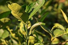 Ανθρακωρύχος φύλλων εσπεριδοειδών στα φύλλα ασβέστη Στοκ εικόνες με δικαίωμα ελεύθερης χρήσης