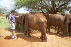 Ανθρωπιστικός Διευθύνων Σύμβουλος κοινωνίας, Wayne Pacelle, petting υιοθετημένοι αφρικανικοί ελέφαντες μωρών στο Δαβίδ Sheldrick  στοκ εικόνες