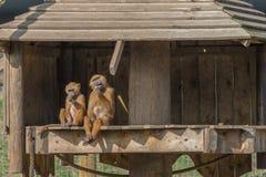 Ανθρωπόμορφοι πίθηκοι Στοκ εικόνες με δικαίωμα ελεύθερης χρήσης