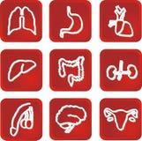 ανθρώπινα εσωτερικά όργαν&al Στοκ εικόνα με δικαίωμα ελεύθερης χρήσης
