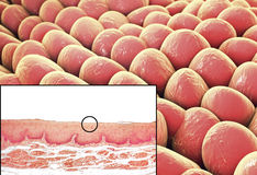 Ανθρώπινα κύτταρα, μικρογράφημα και τρισδιάστατη απεικόνιση διανυσματική απεικόνιση