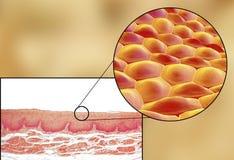 Ανθρώπινα κύτταρα, μικρογράφημα και τρισδιάστατη απεικόνιση απεικόνιση αποθεμάτων
