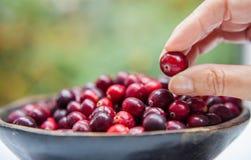 Ανθρώπινα φρούτα χεριών από το ξύλινο κύπελλο με τα φρέσκα τα βακκίνια Στοκ Εικόνες