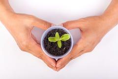 Ανθρώπινα χέρια που κρατούν την πράσινη μικρή έννοια ζωής εγκαταστάσεων νέα Στοκ Εικόνα