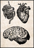 ανθρώπινα όργανα Στοκ Εικόνες