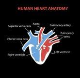 Ανθρώπινες απομονωμένες ανατομία πληροφορίες καρδιών γραφικές για το μαύρο υπόβαθρο ελεύθερη απεικόνιση δικαιώματος