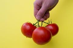 Ανθρώπινη λαβή χεριών τρεις ντομάτες Στοκ Φωτογραφίες