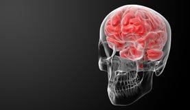 Ανθρώπινη ακτίνα X εγκεφάλου Στοκ Φωτογραφίες