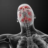 Ανθρώπινη ακτίνα X εγκεφάλου Στοκ Εικόνες