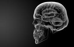 Ανθρώπινη ακτίνα X εγκεφάλου Στοκ εικόνα με δικαίωμα ελεύθερης χρήσης