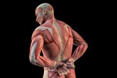Ανθρώπινη ανατομία - αρσενικοί μυ'ες τρισδιάστατη απεικόνιση διανυσματική απεικόνιση