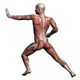 Ανθρώπινη ανατομία - αρσενικοί μυ'ες Στοκ Εικόνες