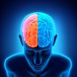 Ανθρώπινη ανατομία εγκεφάλου Στοκ Φωτογραφίες