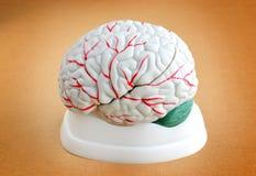 Ανθρώπινη ανατομία εγκεφάλου Στοκ Εικόνα