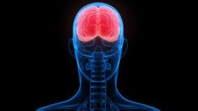 Ανθρώπινη ανατομία εγκεφάλου διανυσματική απεικόνιση