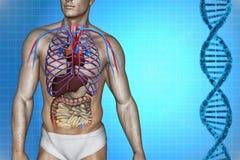 Ανθρώπινη ανατομία καρδιών Στοκ φωτογραφία με δικαίωμα ελεύθερης χρήσης