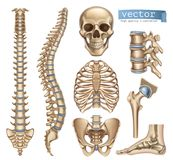 Ανθρώπινη δομή σκελετών Κρανίο, σπονδυλική στήλη, κλουβί πλευρών, λεκάνη, ενώσεις τρισδιάστατο διανυσματικό σύνολο εικονιδίων απεικόνιση αποθεμάτων