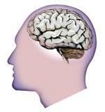 Ανθρώπινη εγκέφαλος, παρεγκεφαλίδα και πονοκέφαλοι Πονοκέφαλος Στοκ Εικόνες