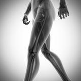 Ανθρώπινη εικόνα ανίχνευσης ακτινογραφιών κόκκαλων Στοκ Φωτογραφίες