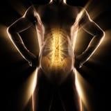Ανθρώπινη εικόνα ανίχνευσης ακτινογραφιών κόκκαλων Στοκ εικόνα με δικαίωμα ελεύθερης χρήσης