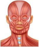 Ανθρώπινη επικεφαλής απεικόνιση μυών διανυσματική απεικόνιση