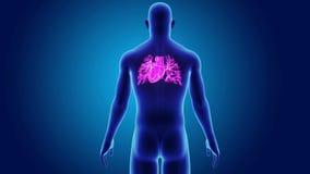 Ανθρώπινη καρδιά με το σώμα απόθεμα βίντεο