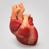 Ανθρώπινη καρδιά στοκ εικόνες με δικαίωμα ελεύθερης χρήσης