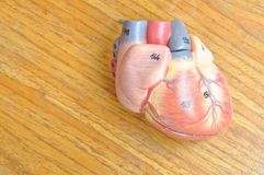 Ανθρώπινη καρδιά στοκ φωτογραφία με δικαίωμα ελεύθερης χρήσης
