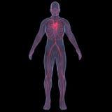 Ανθρώπινη κυκλοφορία του αίματος διανυσματική απεικόνιση
