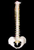 ανθρώπινη σπονδυλική στήλη στοκ εικόνες