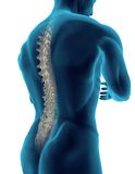 ανθρώπινη σπονδυλική στήλ&e Στοκ Εικόνες