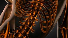 Ανθρώπινη των ακτίνων X ανίχνευση ακτινογραφιών σπονδυλικών στηλών διανυσματική απεικόνιση