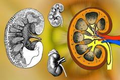 ανθρώπινη δομή νεφρών Στοκ φωτογραφία με δικαίωμα ελεύθερης χρήσης
