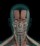 Ανθρώπινοι μυ'ες ανατομίας ενός κεφαλιού Στοκ Εικόνα