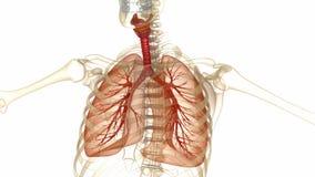 Ανθρώπινοι πνεύμονες, τραχεία και σκελετός απόθεμα βίντεο