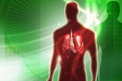 ανθρώπινοι πνεύμονες Στοκ φωτογραφία με δικαίωμα ελεύθερης χρήσης