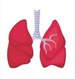 ανθρώπινοι πνεύμονες Στοκ Εικόνα